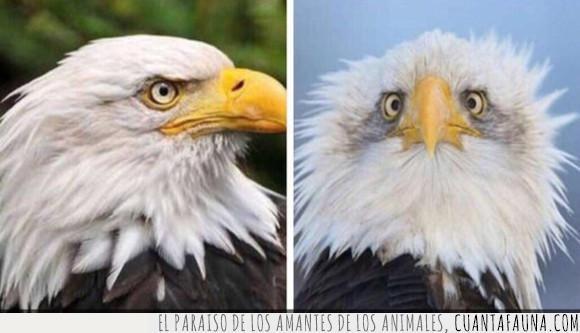 águila,cara,de perfil,eeuu,foto,usa