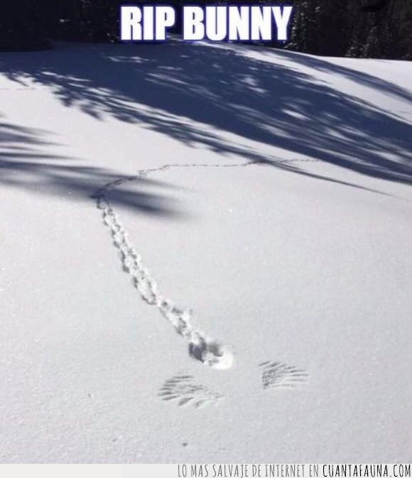 aguila,cazado,conejo,huellas,nieve
