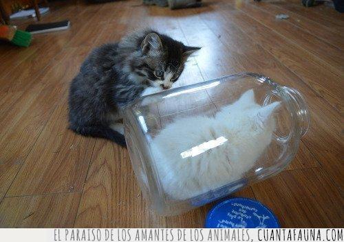 blanco,botella,cría,crital,gato,gris,hermano,vidrio