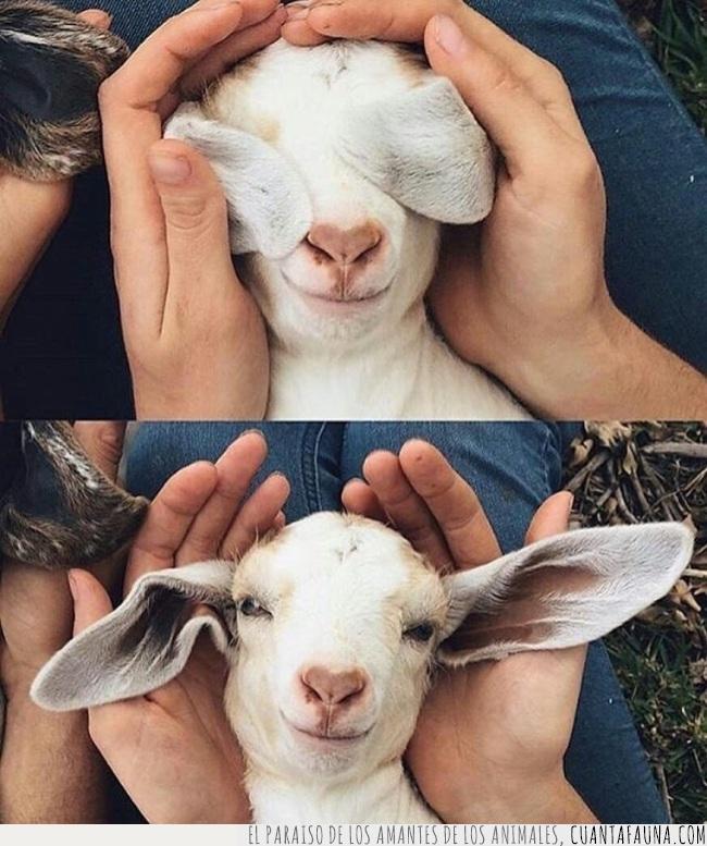 cabra,cabrita,escondite,jugar,orejas,pequeña