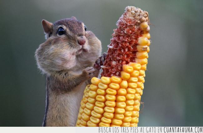 ardilla,comer,demasiado,exacto,llenas,maíz,mejillas,momento,panocha