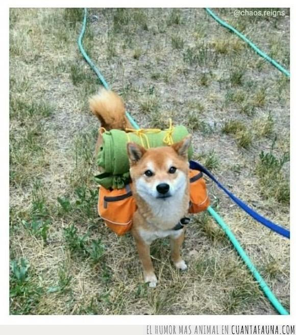 aventura,humor,largarse,pasear,perro,shiba inu,shibe