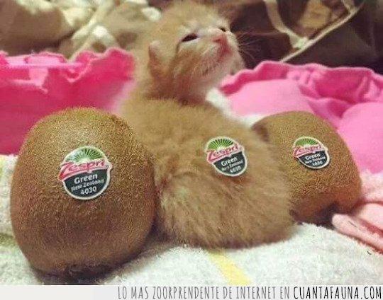 cría,gato,kiwi,pegatina,pelos,peludo,pequeño