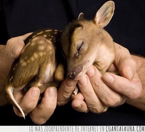 adorable,ciervo,manos,muntjac,pequeño