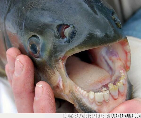 amazonas,dentadura,dientes,humanos,pacú,pez,pirañas
