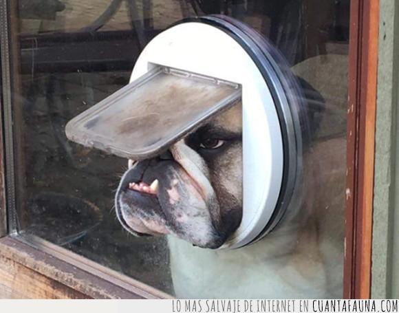 bulldog,can,perro,ventanilla