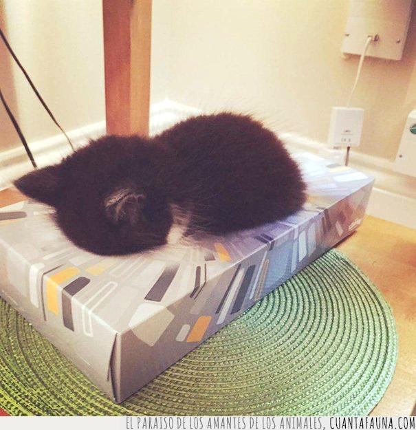 caja,dentro,gato,kleenex,mejor,pañuelos,papel,triste