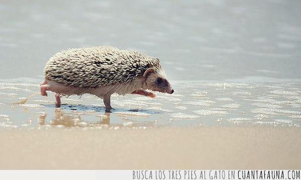 agua,disfrutar,erizo,frío,olas,playa,verano