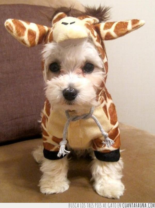 blanco,capucha,disfraz,jirafa,perro,sudadera