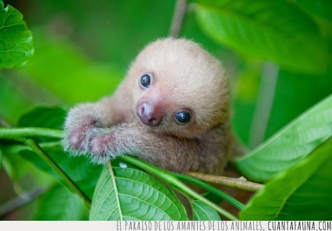 bebé,cara,carita,cría,deprimente,domingo,pequeño,perezoso,sloth,tarde