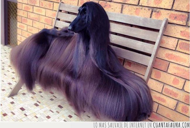 afgano,cortina,espectaculra,galgo,goals,marrón,melena,negro,oscuro,pelazo,pelo,perro