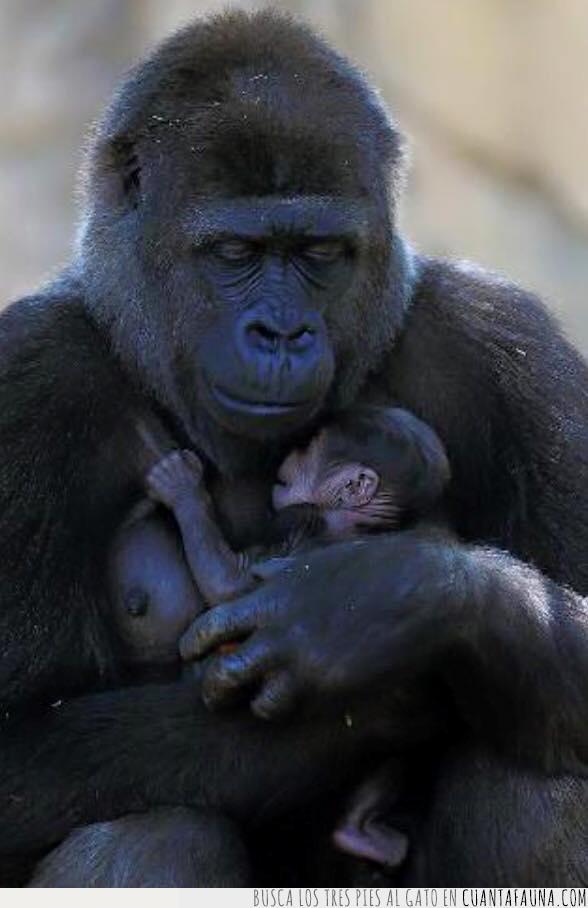 amor,cría,hijo,madre,orangután,pecho,simio