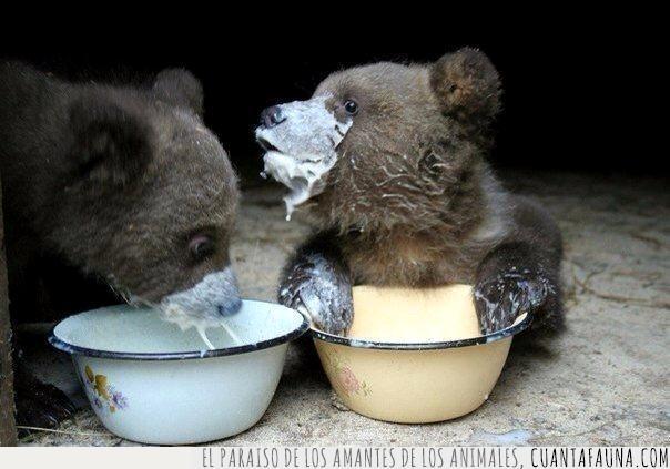 barreño,cachorro,leche,merendar,oso