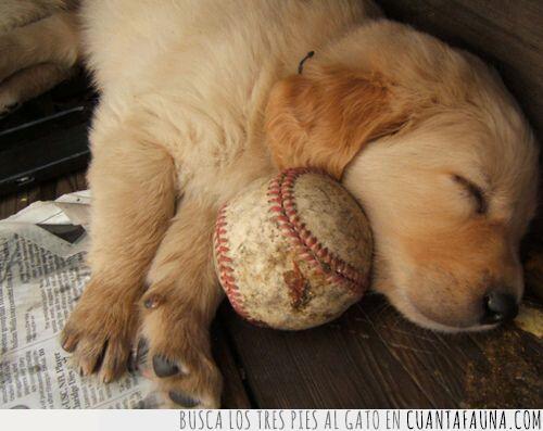 bateador,béisbol,duerme,labrador,pelota,perro,sueña