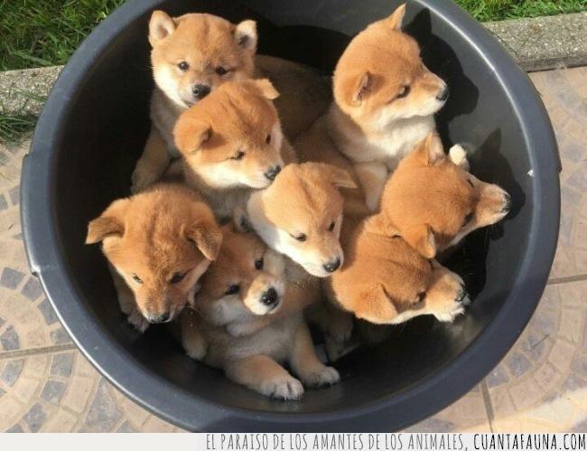 barreño,cachorros,inu,perros,shiba,todos