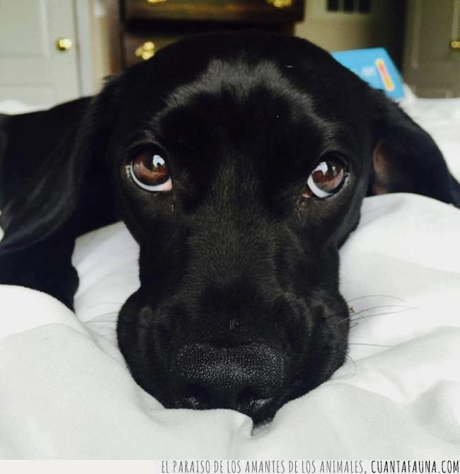 amor,cachorro,cara,mirada,negro,ojos,perro