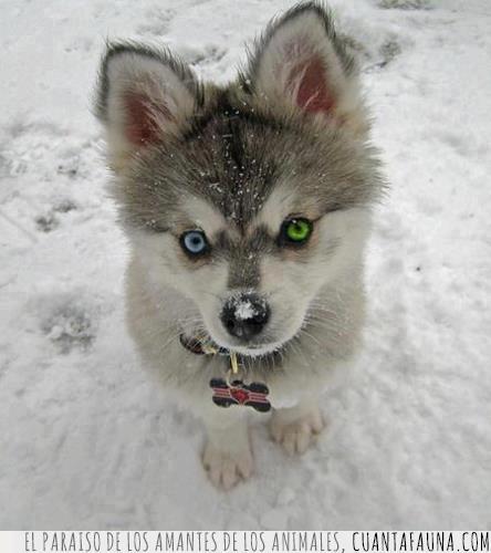 azul,cachorro,color,expresión,husky,ojazos,ojos,perro,verde