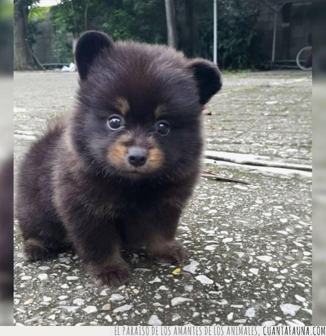 cachorro,confundir,cría,marrón,orejas,oso,parecido,peludo,pequeño,perro