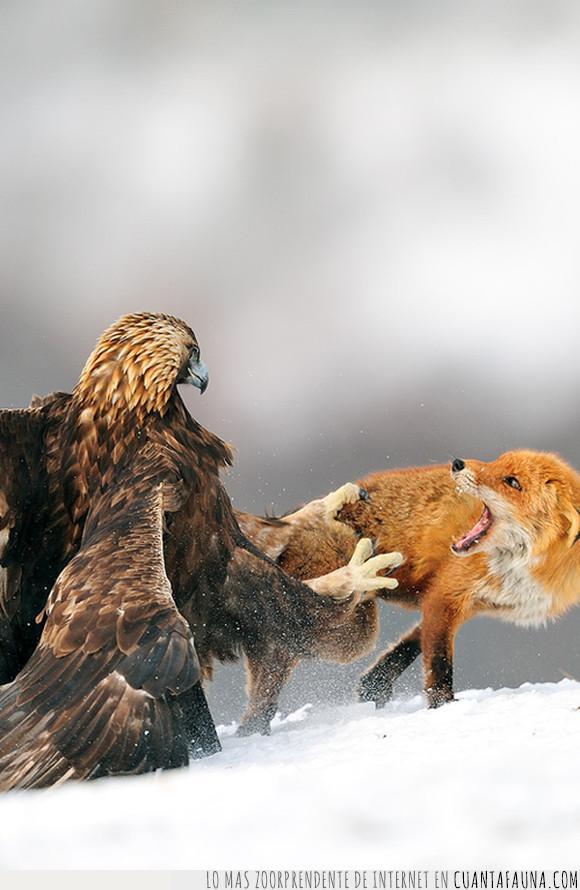 aguila,ataque,naturaleza,zorro