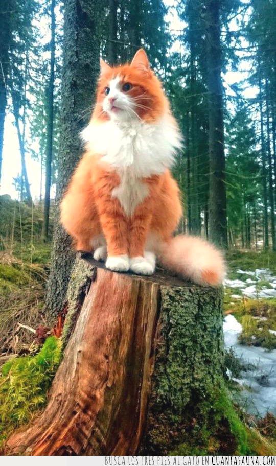 blanco,bosque,gato,majestuoso,naranja,noruego,pelo