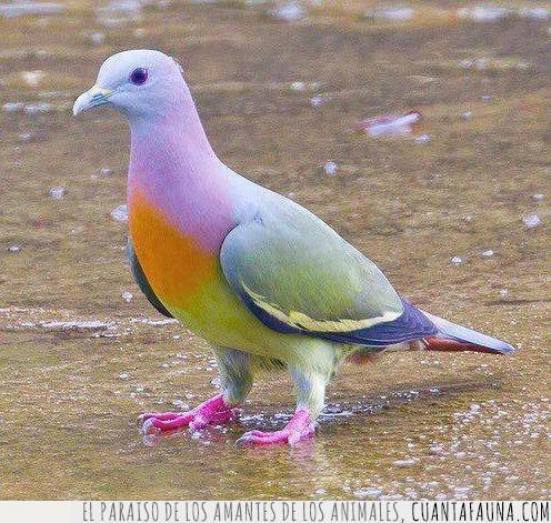 azul,colores,cuello,molona,naranja,paloma,plumas,rosa,verde