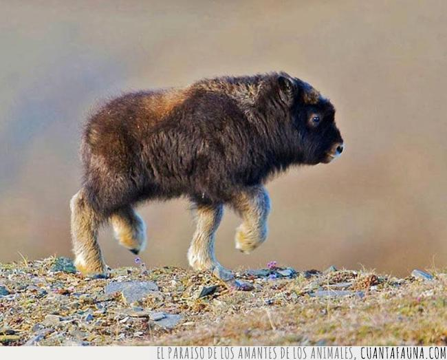 bebé,bisonte,bonito,feliz,marrón,pequeño,salta