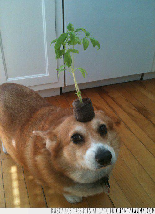 cabeza,concienciar,corgi,cuidar,importante,llevar,naturaleza,planta