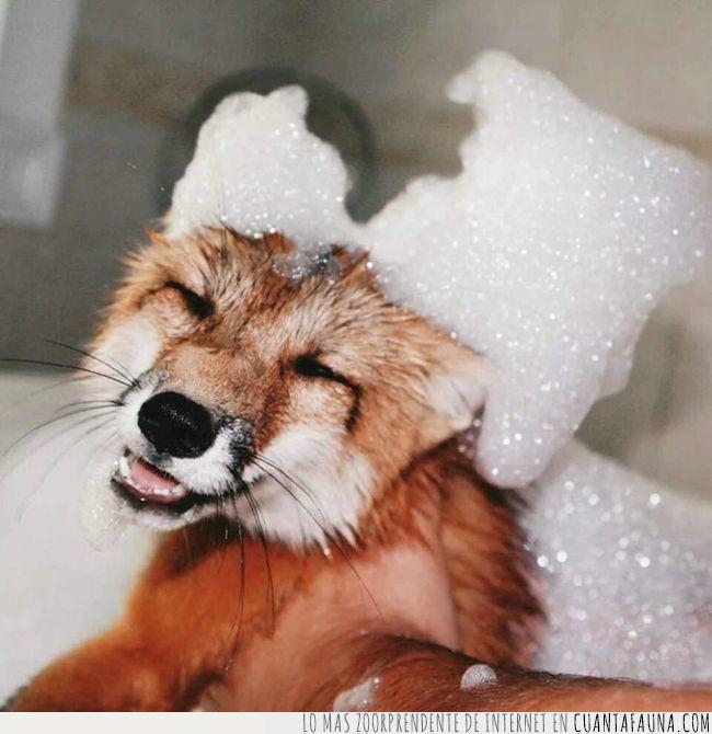 baño,contento,feliz,hora,sonreír,zorro