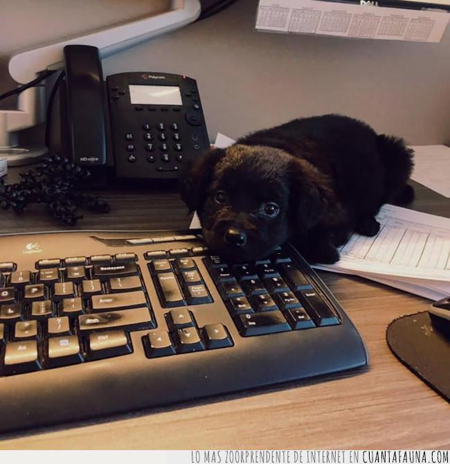 cabeza,cachorro,compañero,negro,teclado,trabajo