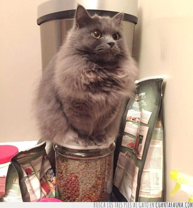 comida,cristal,gato,gris,pote,vigilar