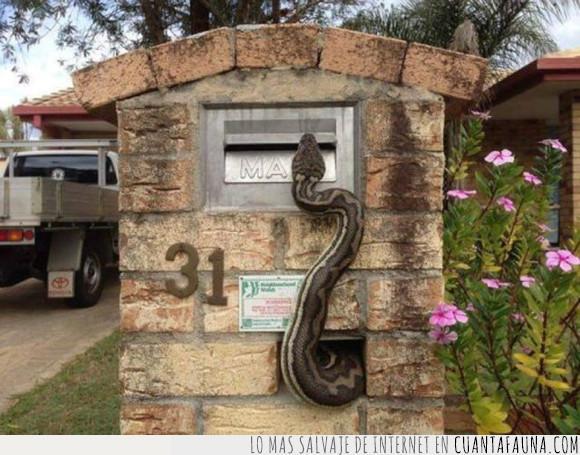 buzón,pitón,serpiente,vívora