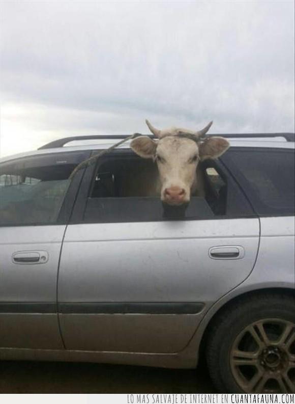 auto,guayin,vaca
