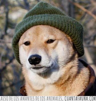 cool,estilo,gorro,hipster,lana,moda,moderno,perro,ropa,shiba