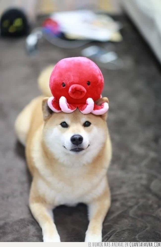 cabeza,disfrutar,gorro,imagen,japonés,porqué,pulpo,sentido,shiba,sombrero