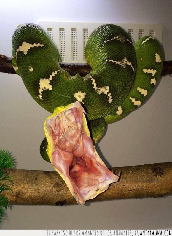 boa,mordida,serpiente