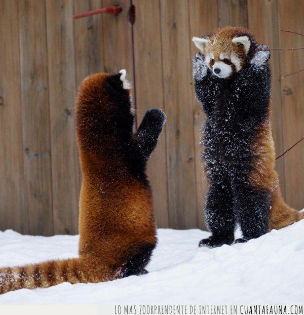 bienvenida,cola,navidad,nieve,panda,patas,rojo