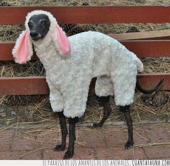 contento,disfraz,galgo,oveja,ver