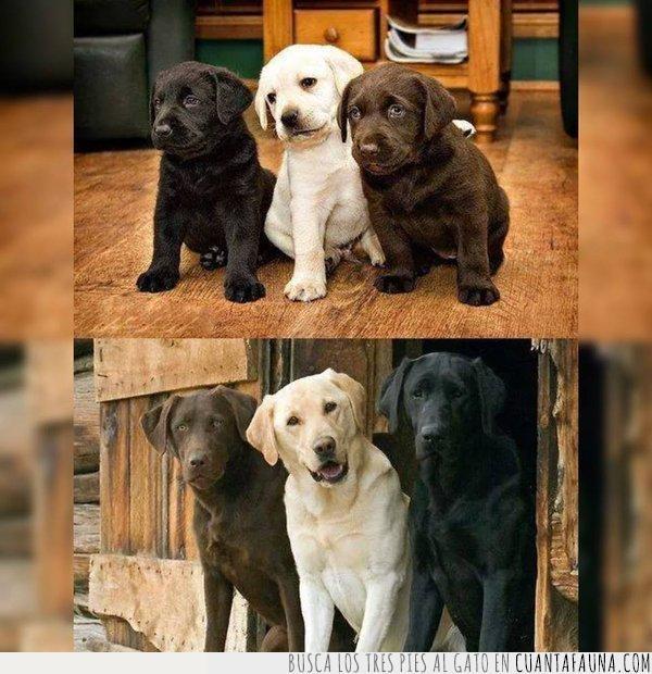 amigos,años,antes,aventuras,blanco,después,labrador,marrón,negro,perro,tres
