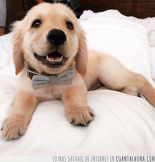 año,cachorro,despedir,fin de año,gala,golden,pajarita,preparado