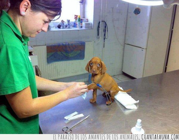 cachorro,mirada,pata,tratamiento,valiente,veterinario