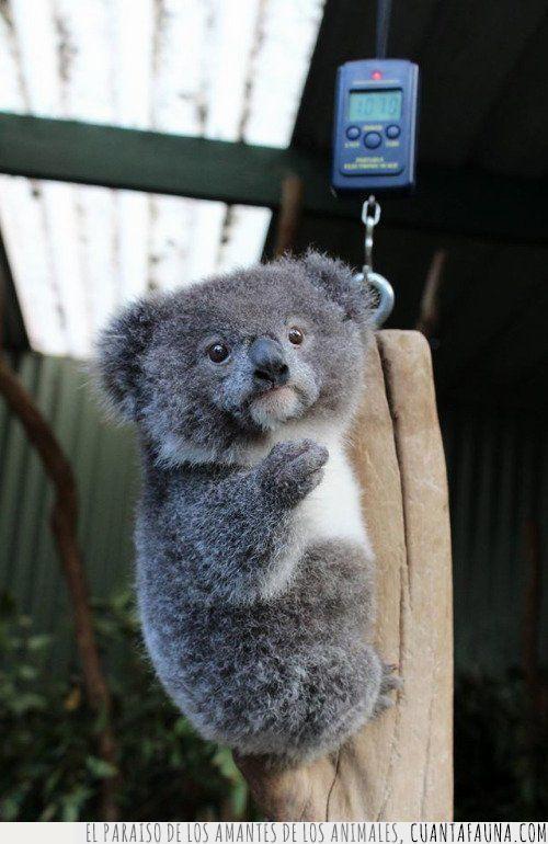 báscula,conciencia,exceso,koala,Navidad,pesar,peso