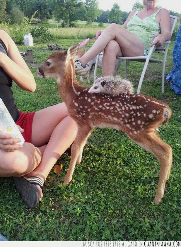 cervatillo,ciervo,comer,espín,leche,montar,parque,puerco