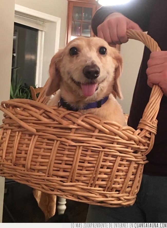 cachorro,cara,cesta,dentro,lengua,llevar,mirada,viernes