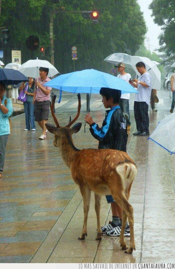caballerosidad,ciervo,lluvia,niño,paraguas,proteger