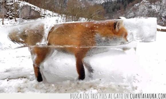 congelado,hielo,zorro