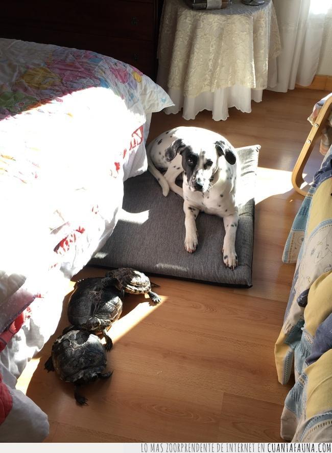 aceptación.,compartir,manada,perro,tomar el Sol,tortugas