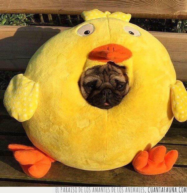 disfraz,esconder,meter,pollo amarillo,pug