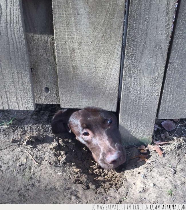 agujero,cabeza,excavar,jardinería,perro,tareas,valla,vecino,ver