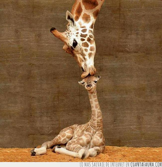 amor,beso,cabeza,cría,hijo,jirafa,madre