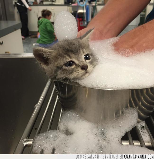 agua,baño,cara,cubo,disfrutar,disfrute,gato,jabón,lavar,resignación